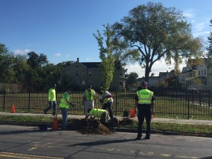 A new tree gets planted on Pine Street, in the shadow of a large Elm tree, on October 7th.